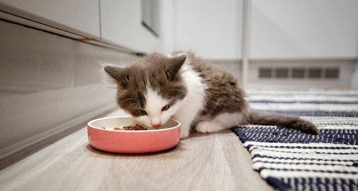چگونه به بچه گربه ها غذا بدهیم + انواع، مقدار و وقت غذا دادن